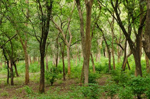marayoor forest