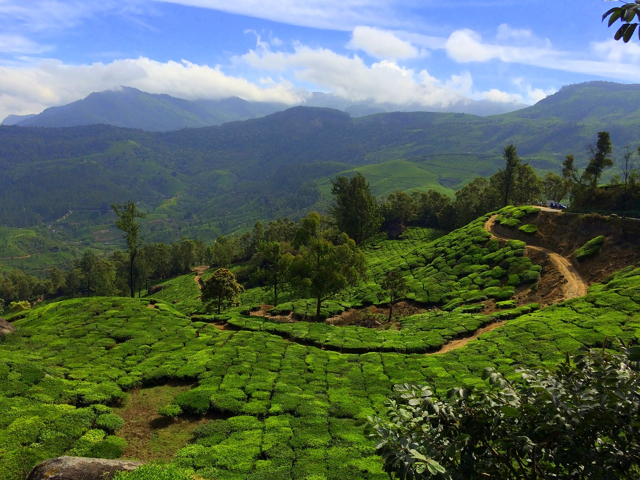 tea farm in munnar