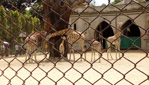 jiraffes in Zoo Alipore