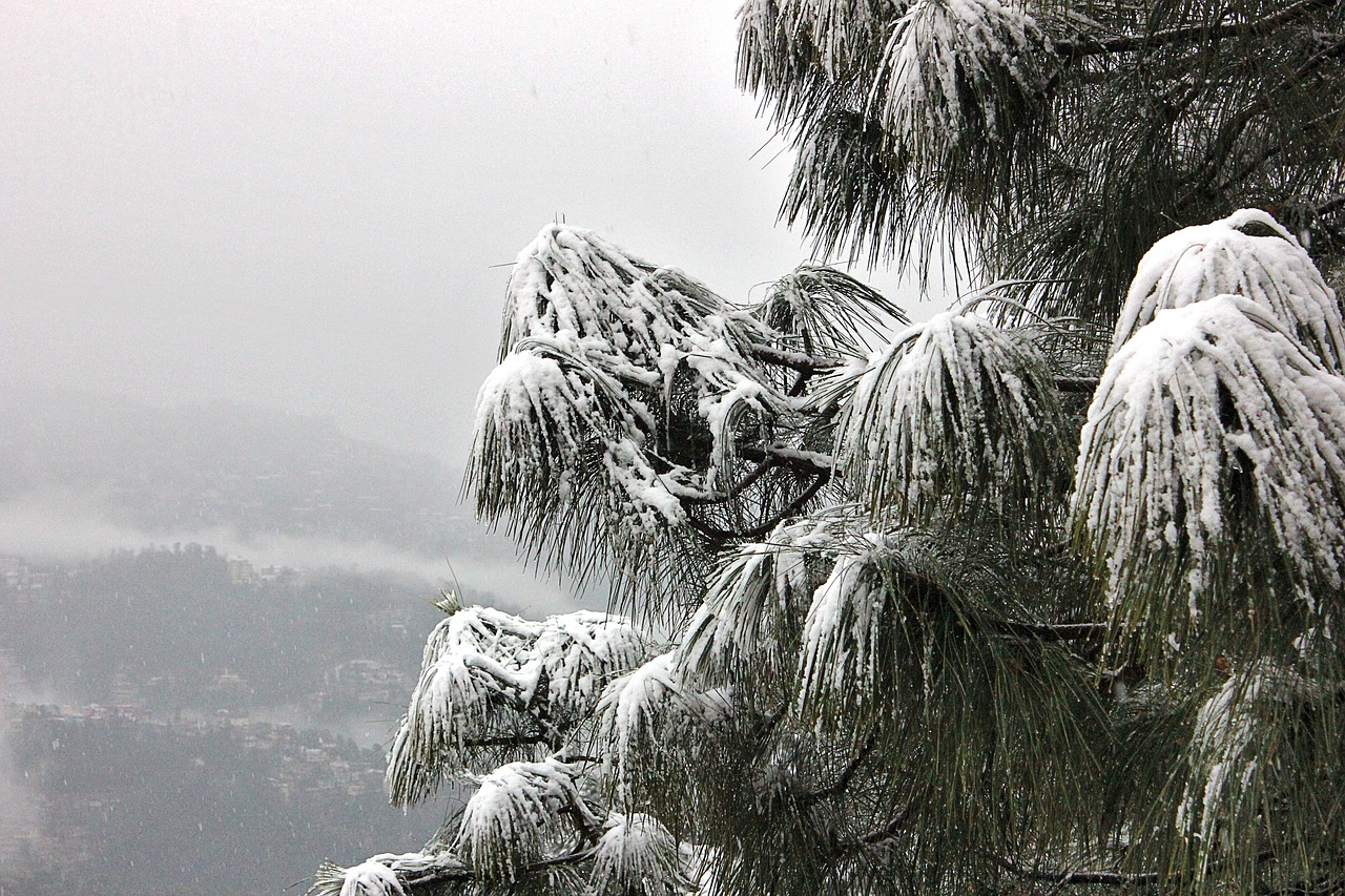 A snow covered tree in Shimla